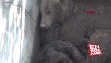 Aç kalan ayı ve iki yavrusu için seferber olundu