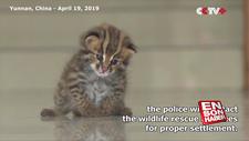 Leoparı kedi sanıp eve getirdi