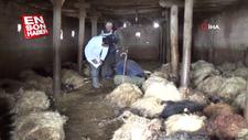 Hakkari'de ağıla giren kurtlar 79 koyunu telef etti