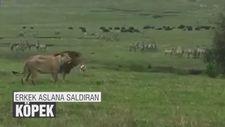 Erkek aslana saldıran köpek