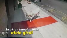 Sinop'ta sıcaktan bunalan inek otele girdi