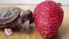 Minik kaplumbağa çileğe karşı