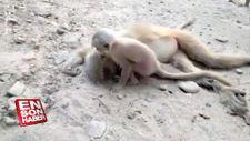 Ölen annesini uyandırmaya çalışan maymun