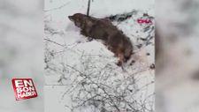 Sivas'ta bitkin halde bulunan kurt tedaviye alındı
