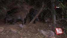 Sarıyer'de acıkan domuz sürüsü şehir merkezine indi