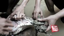 Timsahın midesinden canlı kaplumbağalar çıktı