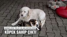 Anneleri telef olan kedilere köpek sahip çıktı