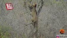 Leoparın avını çalmak isteyen aslan zor anlar yaşadı