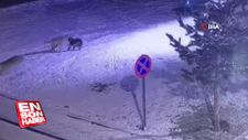 Erzurum'da aç kalan kurtlar köpeğe böyle saldırdı