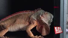 Caminin deposundan 82 santim uzunluğunda iguana çıktı