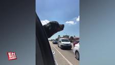 Ambulans sesini taklit etmeye çalışan köpek