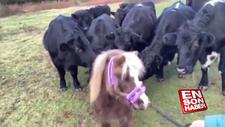 İlk kez midilli ile tanışan inekler