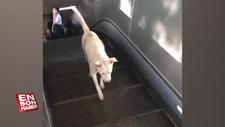 Sokak köpeğinin yürüyen merdiven ile imtihanı