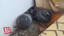 Balkonuna yuva yapan güvercinleri besliyor