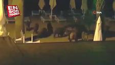 Marmaris'te yaban domuzları sahile inip köpeklere saldırdı