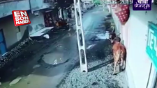 Bisikletli adama kafayı takan öküz