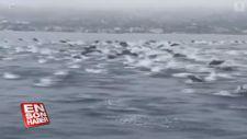 Kalabalık bir yunus sürüsü balıkçılarla birlikte yüzdü