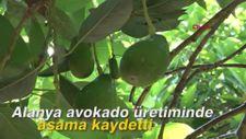 Alanya avokado üretiminde aşama kaydetti