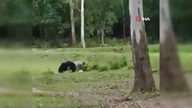 Hindistan'da futbol topuyla oynayan ayılar viral oldu