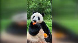 Pandanın havuç keyfi