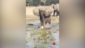 Afrika'da fil, timsahı ezerek öldürdü