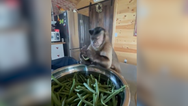 Fasulye kıran maymun