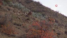 Yaban keçisi sürüsü doğal ortamında görüntülendi